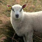 Vente de colis de viande de bœuf Highland Cattle, élevés en landes de sous-bois.