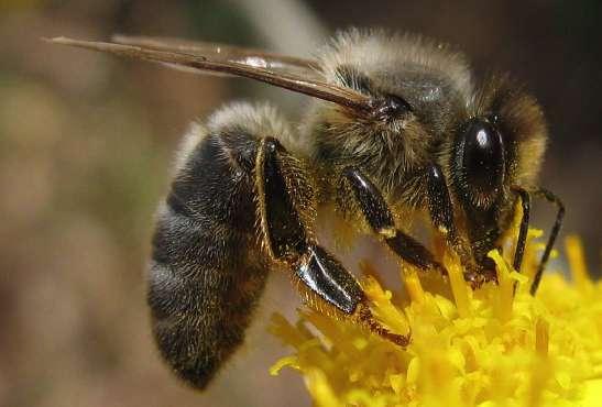 L'Abeille noire : Une abeille locale et rustique, en danger…