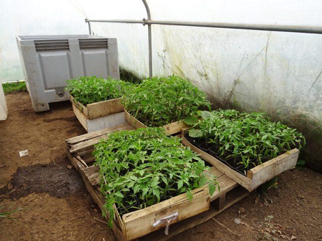 Vente de plants de Tomates Bio – Variétés anciennes – Non hybride