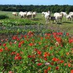 Ferme de Kerdroual : caisses de viande de bœuf le 12-13-14 Juillet !