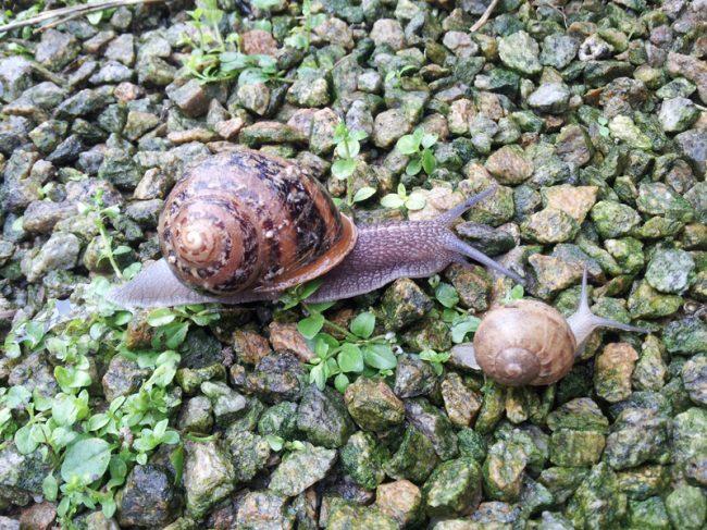 Cap'Hélix Escargots