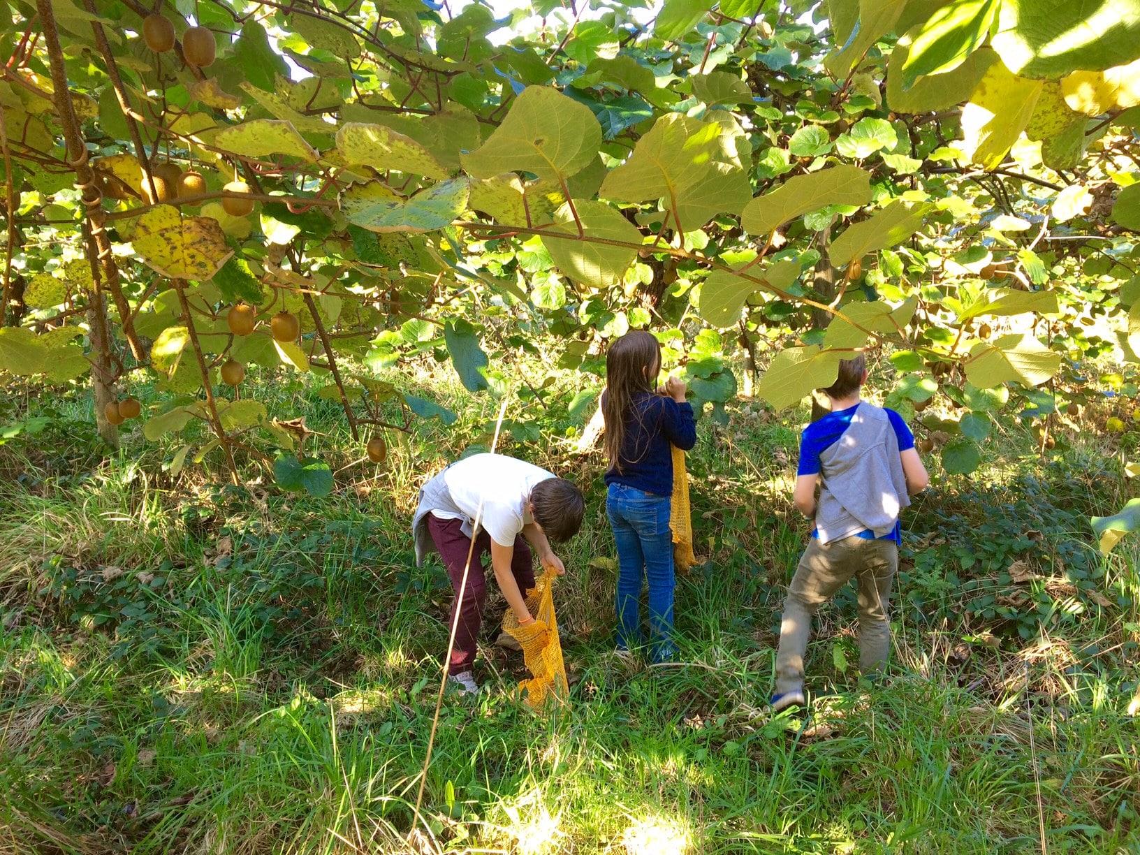 On a testé l'autocueillette de kiwis, directement à la ferme
