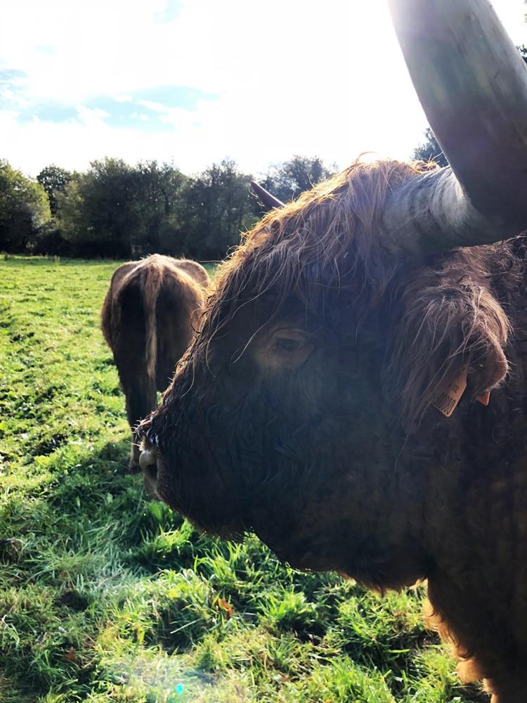 La Highland Cattle : une vache écossaise chevelue et miniature