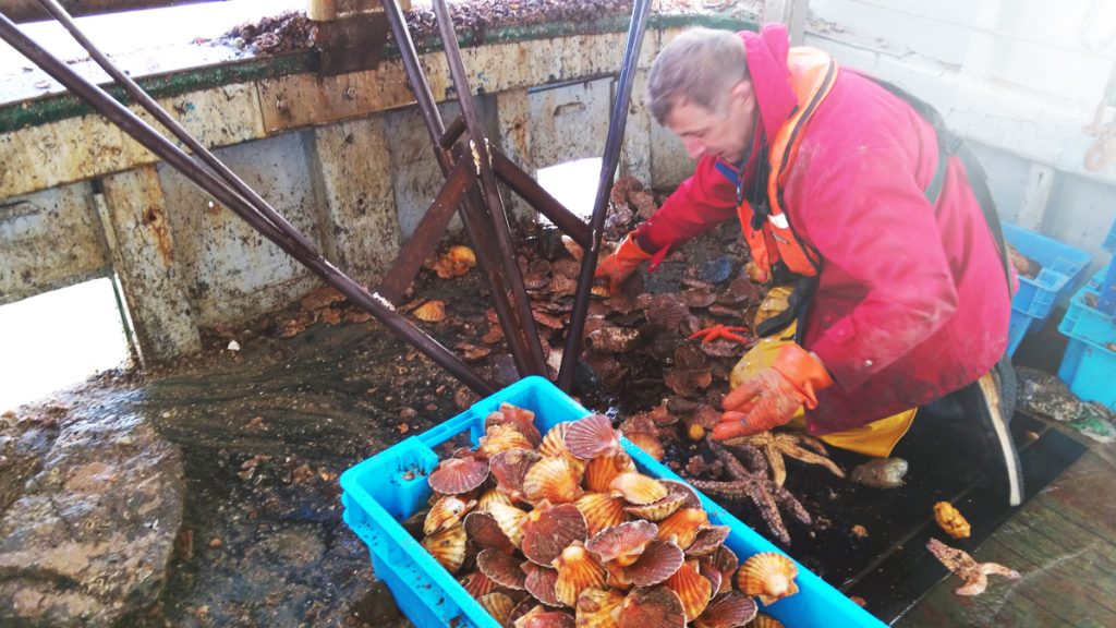 La coquille Saint-Jacques : saison, pêche, recettes...