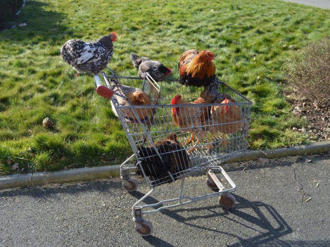 Ou acheter des volailles pour son poulailler domestique ? 🐥