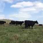 La Black Angus Farm de Saint Rivoal passe à la TV ! ;)