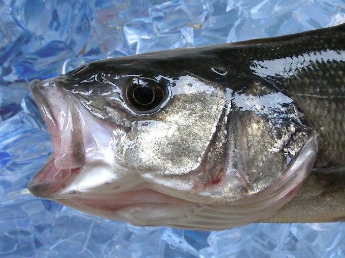 ADYCAT Bateau de Pêche - poisson ultra frais