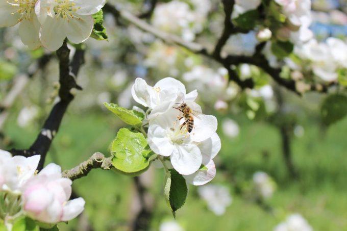 Cidrerie Les Vergers de Kermao - pommiers en fleurs