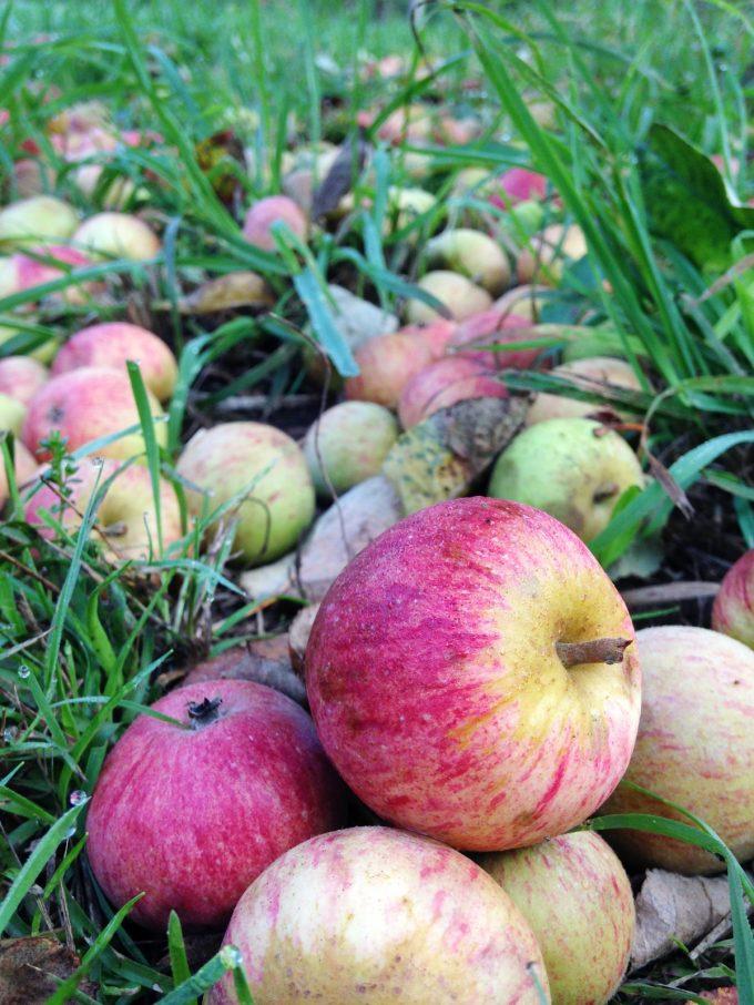 Cidrerie Les Vergers de Kermao - pommes à terre