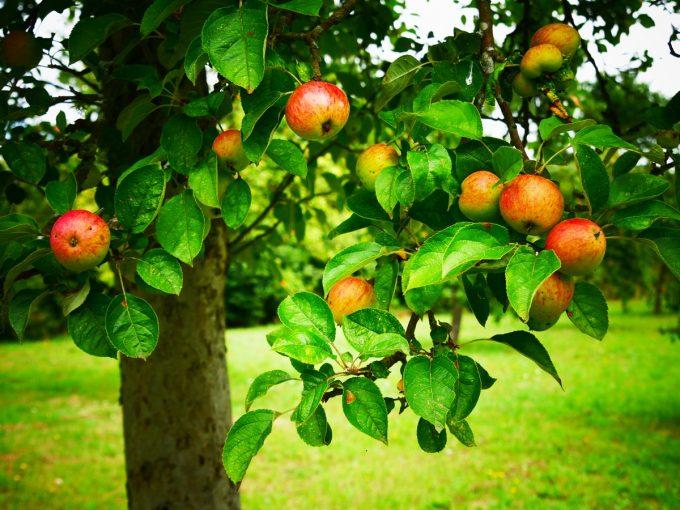 Cidrerie Les Vergers de Kermao - pommes sur l'arbre