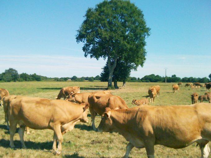 Ferme du Brulon - bétail au pâturage