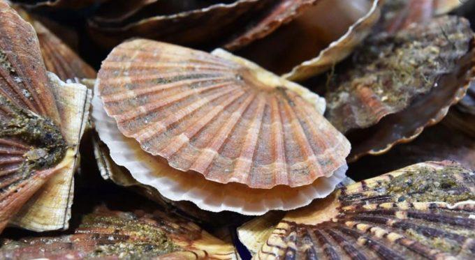 ADYCAT Bateau de Pêche - délicieuse noix de saint jacques
