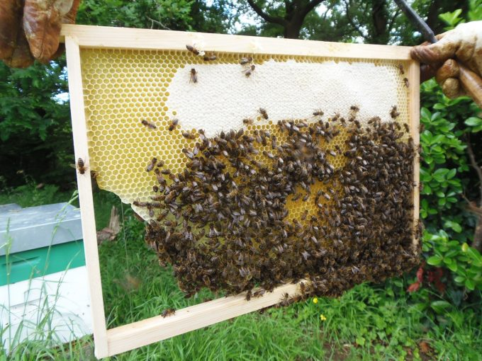Rucher Melen ha Du - extraction et abeilles