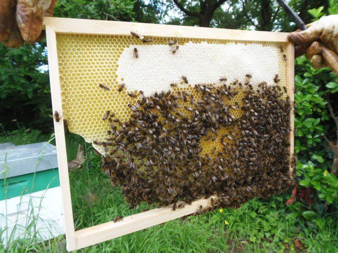 Rucher Melen ha Du - extraction et abeilles
