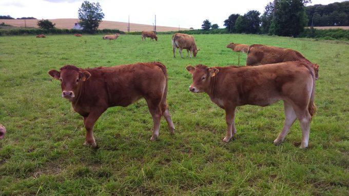 La Ferme de Langoat - jeunes bovins au pré