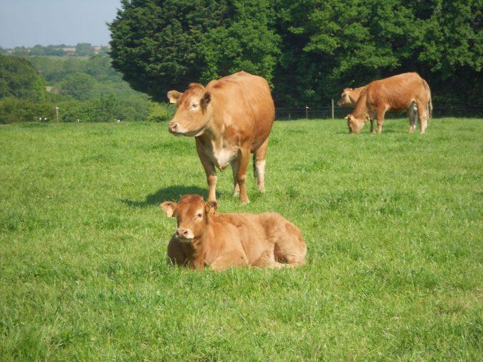 La Ferme de Langoat - bovins à l'herbe