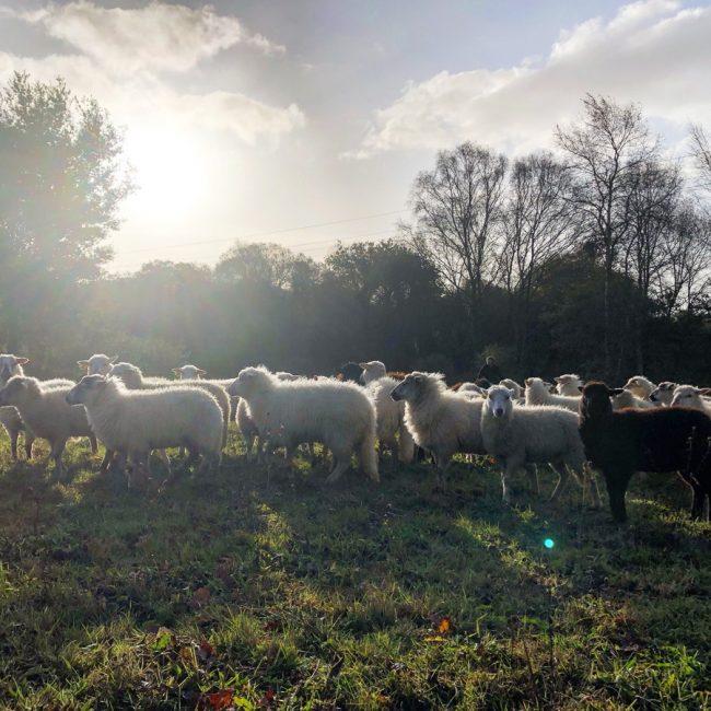 Les Moutons de Pilou
