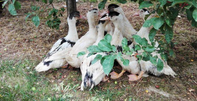 La Ferme du Luguen - canards en liberté