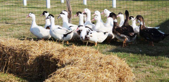 La Ferme du Luguen - canards