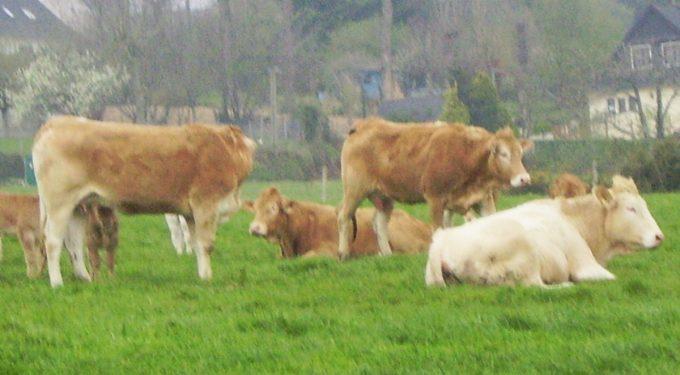 Ferme La Croix Saint Samson - troupeau de Blondes d'Aquitaine au pâturage