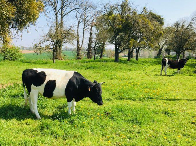 Fromagerie du Gros Chêne - vache bretonne de race Pie Noire au pré