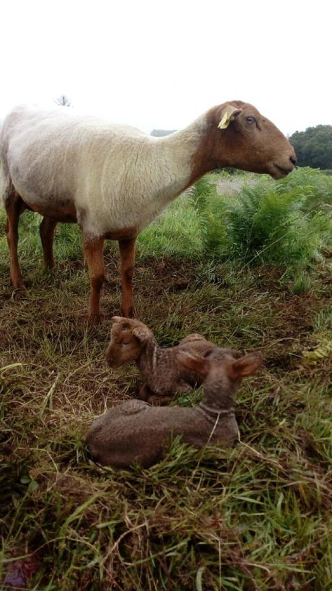 La Bergerie de Bulat - brebis agnelante