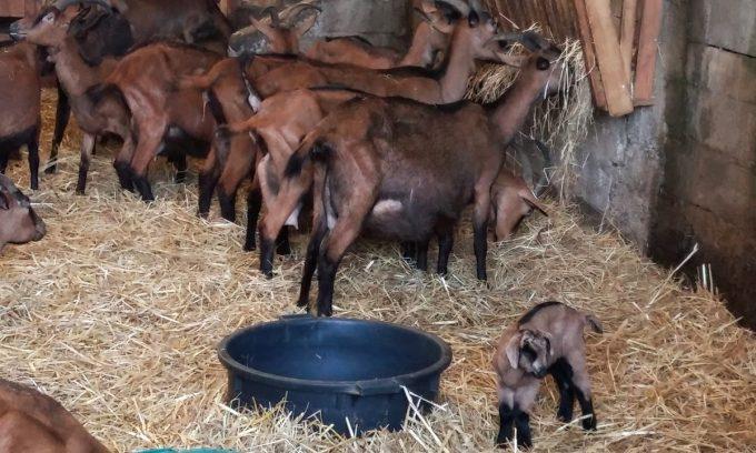 La Chèvrerie de la Garenne - chèvres au foin