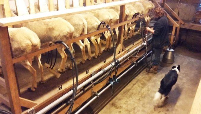 La Chèvrerie de la Garenne - brebis à la traite