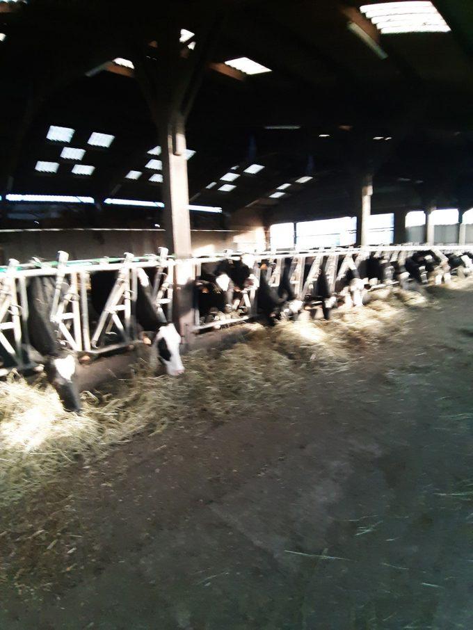 Ferme Breizh Uhel - vaches laitières à l'étable