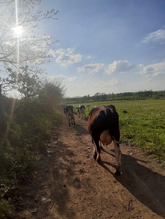 Ferme Breizh Uhel - vaches laitières en chemin vers les pâturages