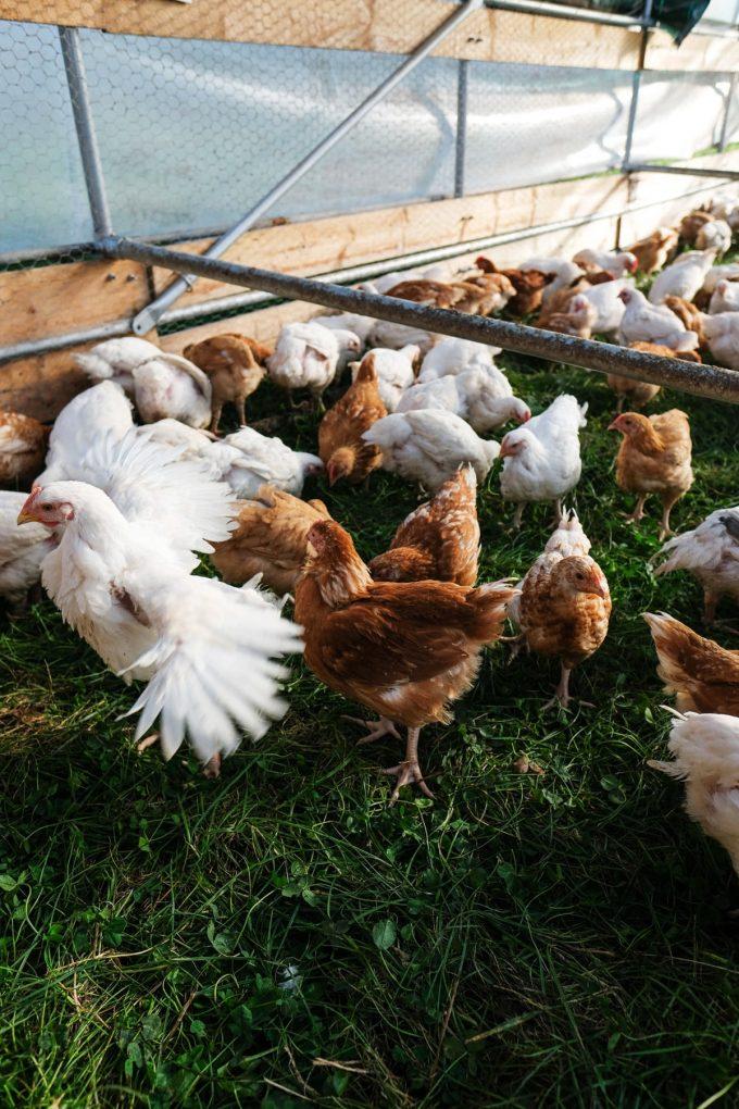 Ferme de Kergo - poulets à l'herbe