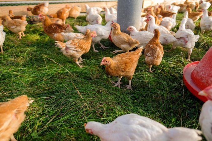 Ferme de Kergo - poulet de chair au bon goût d'antan