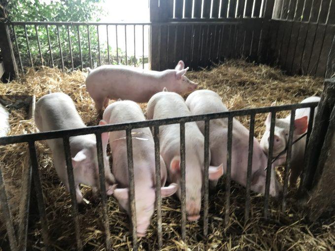 Ferme de Kerouatz - porcs élevés au bon lait de nos vaches