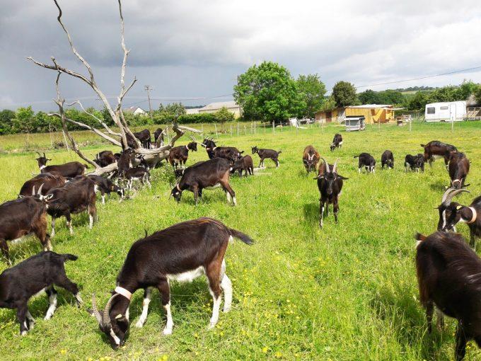 La Ferme de Mya - troupeau de chèvres