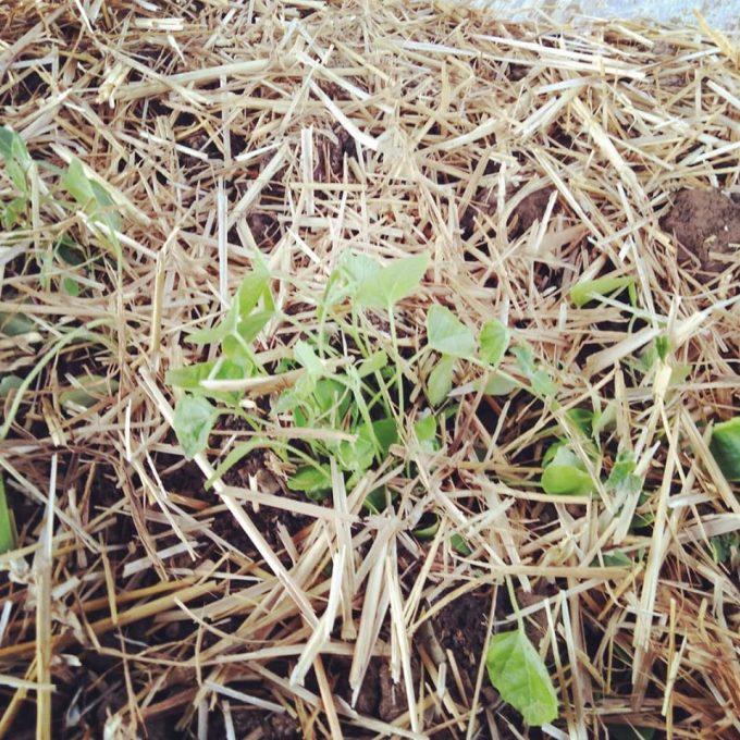 Ferme Douar Mager - premières feuilles