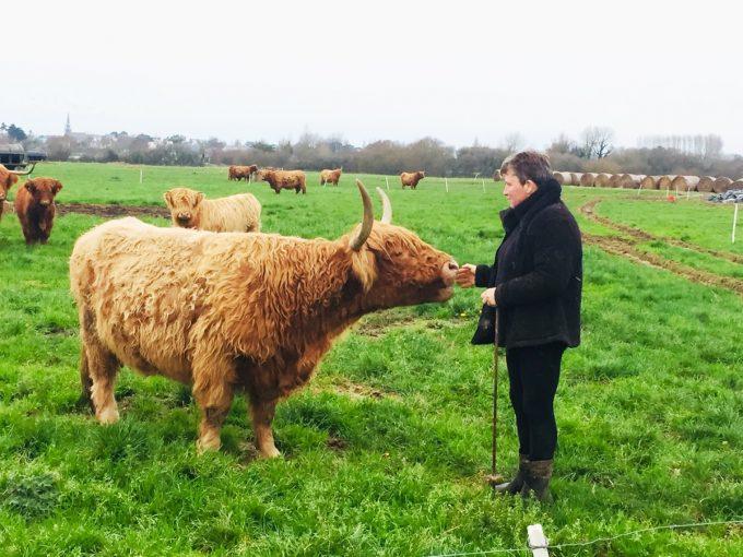 Ty Guillerm - Highland cattle au pré