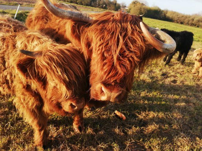 Ty Guillerm - Highland cattle à poils longs