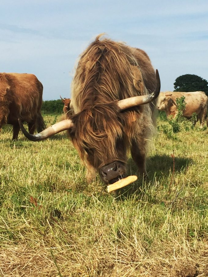 Ty Guillerm - Highland cattle broutant