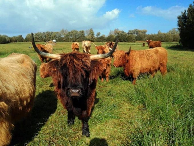 Ty Guillerm - troupeau nourri à l'herbe en plein air