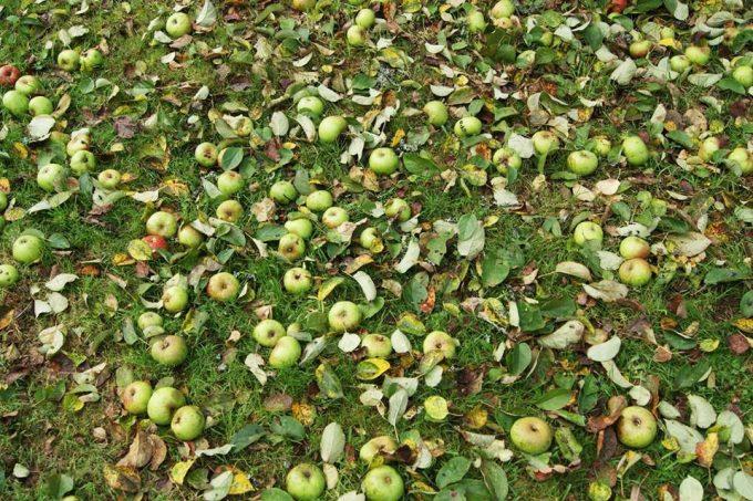 Le Bois du Barde - pommes au sol