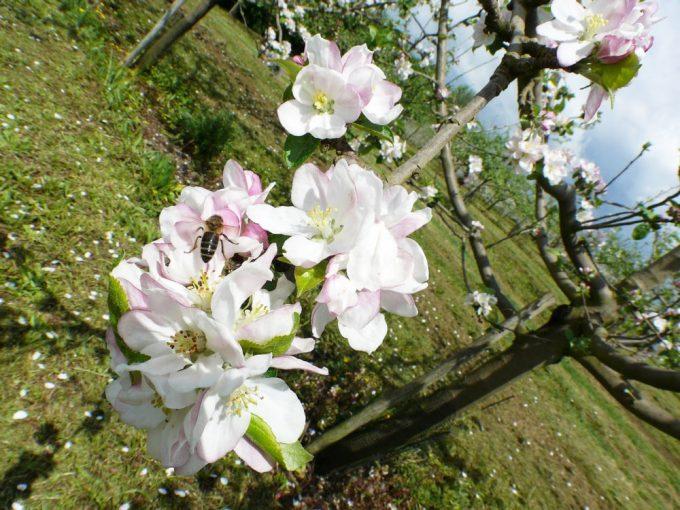 Cidrerie Paul Coïc - fleur de pommier