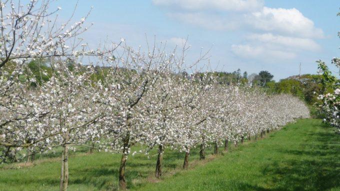 Cidrerie Paul Coïc - pommiers en fleurs