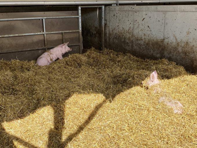 Au Bio Cochon - porcelets sur paille
