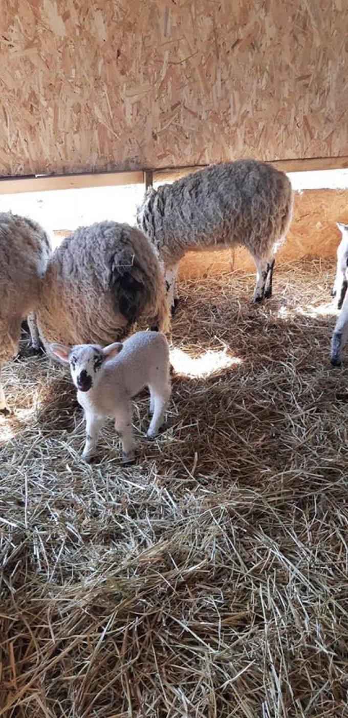 La Bergerie de Flo - agneaux