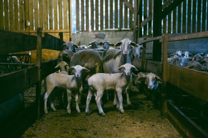 Bergerie de Pouldon - agneaux et brebis