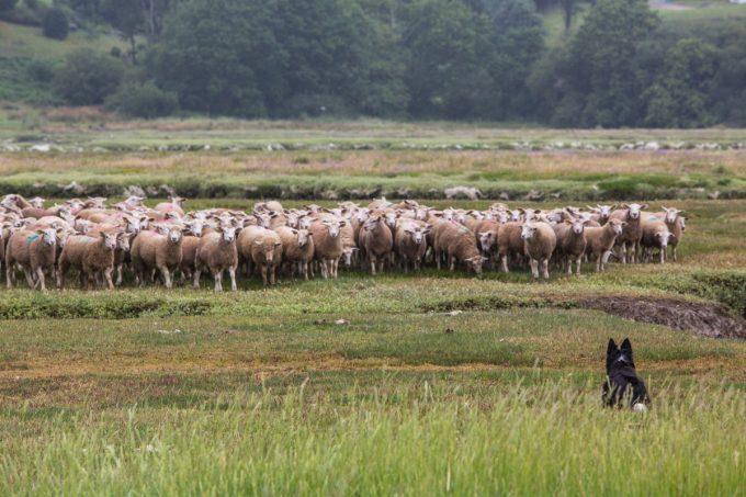 Bergerie de Pouldon - troupeau