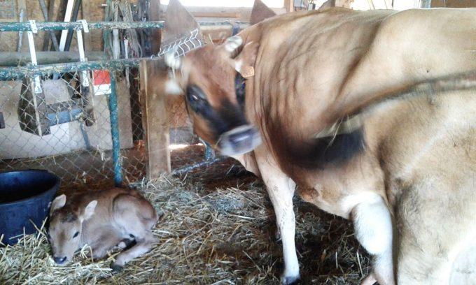 La Ferme à Fanfan - vache jersiaise et son veau à l'étable