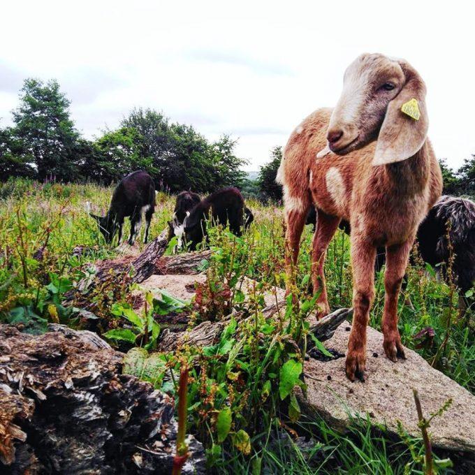 Gaec de la Stèle Gauloise - chèvres
