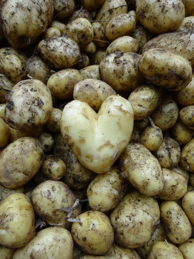 La Ferme de Kerhet - coeur de pommes de terre