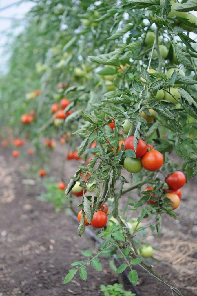 La Ferme de Kerhet - tomates